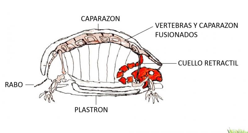 Javier Zambra / Tortuga de Orejas Rojas - Casiopea